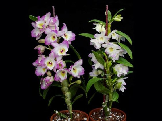 Орхидея Дендробиум Нобиле. Советы по уходу: пересадка и размножение в домашних условиях. Фото, видео