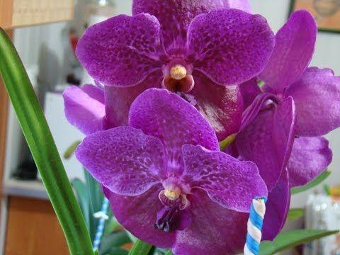 (336) Орхидея Ванда - Уход за растением. Фалинопсис, Мильтония, Дендробиум, Камбрия, Цимбидиум. - YouTube