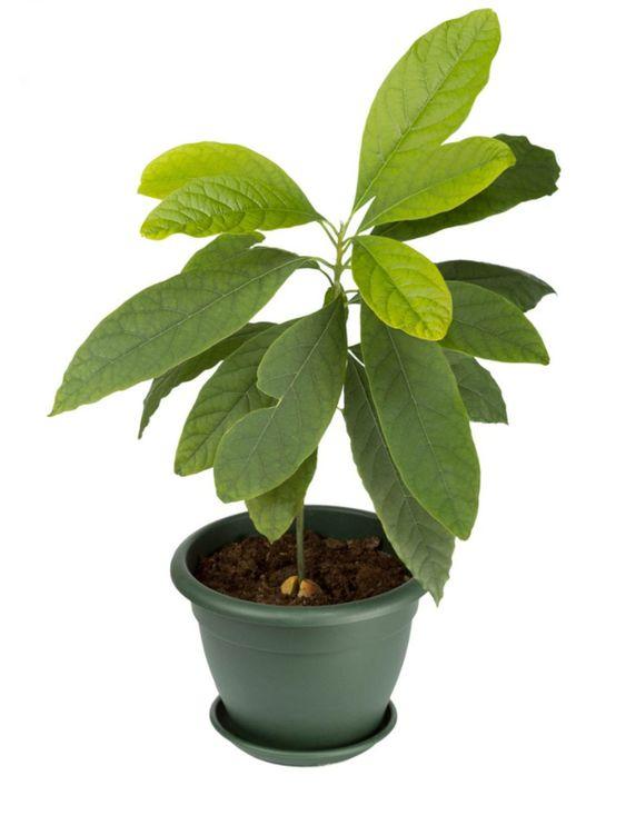 Avocado Growing Indoors - How To Grow An Avocado In A Pot