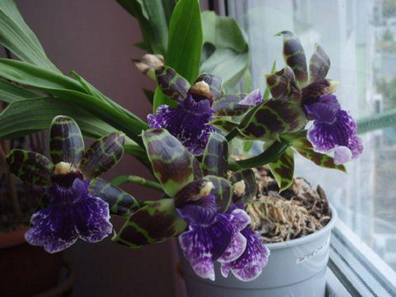 Орхидея зигопеталум: фото, виды и способы ухода в домашних условиях