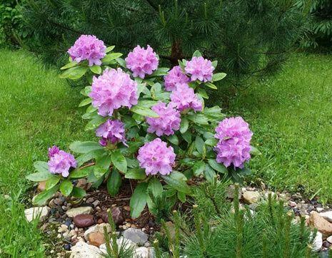 zimostoikie-rododendroni