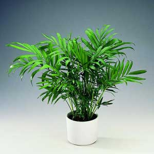 Хамедорея пальма в вазоне