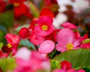 Цветение Бегонии вечноцветущей