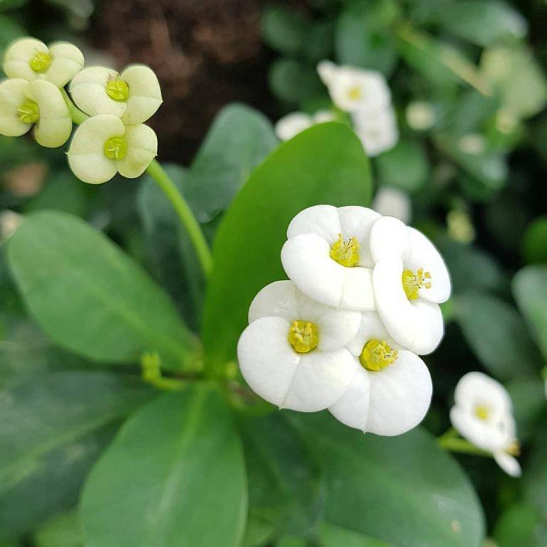 Цветение молочая миле. Фото