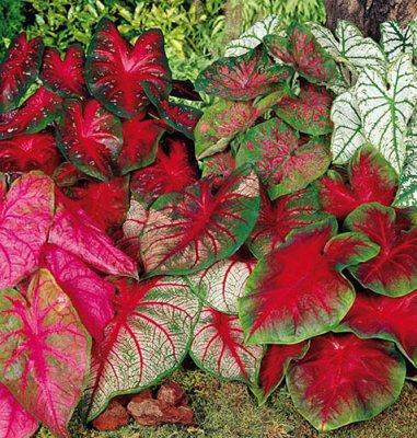 Разнообразие листьев каладиума