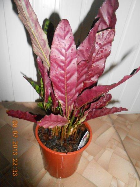 Растение «молится» - поднимает листья на ночь