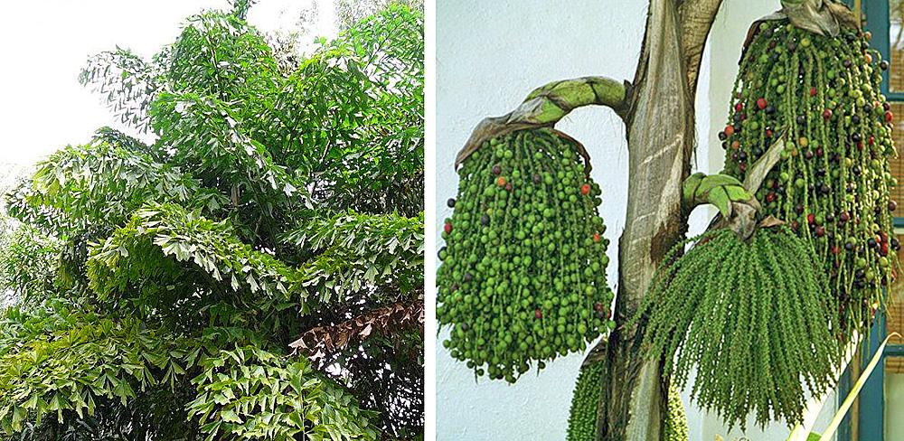 Пальма Кариота в природных условиях; справа - цветение пальмы