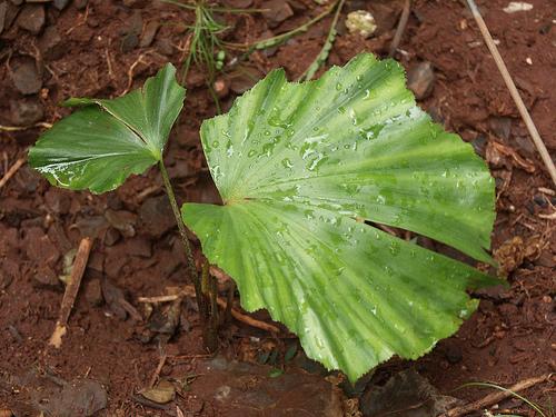 Кариота - юное растение