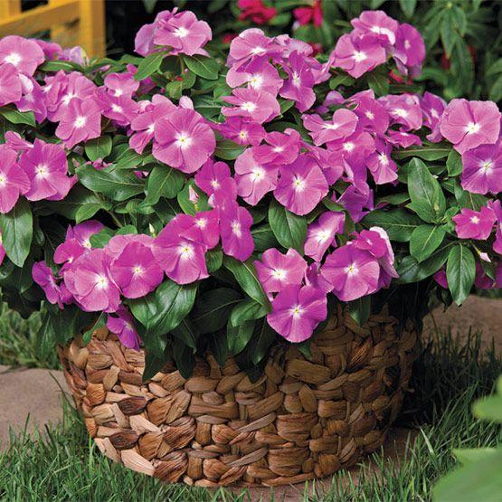 Катарантус цветёт