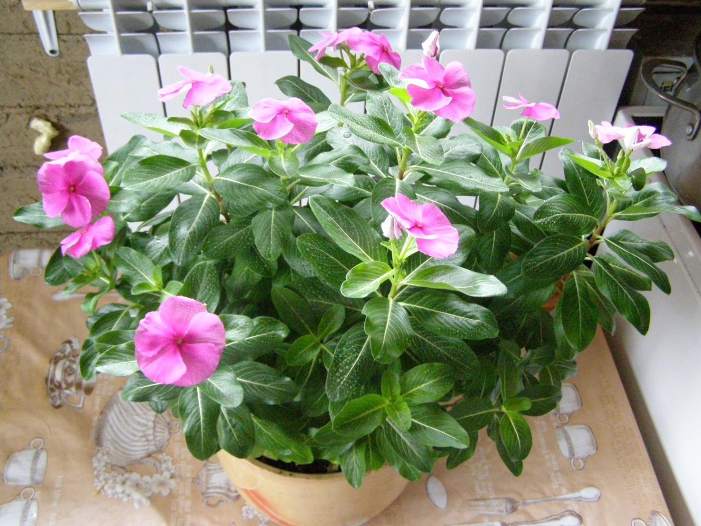 Катарантус цветущий зимой
