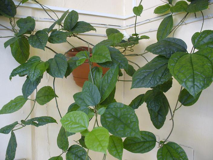 Листья и побеги клеродендрума