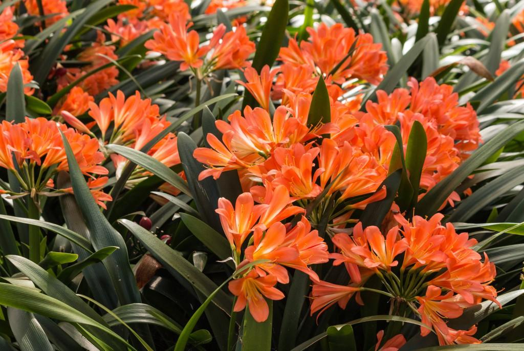 Кливия славится крупными яркими соцветиями