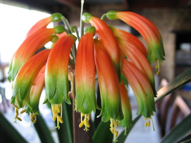 Кончики лепестков ее цветков нежно-зеленого цвета