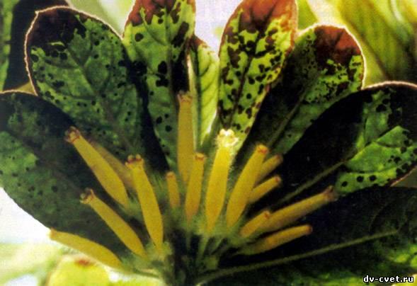 Колумнея Круента считается декоративнолиственным растением