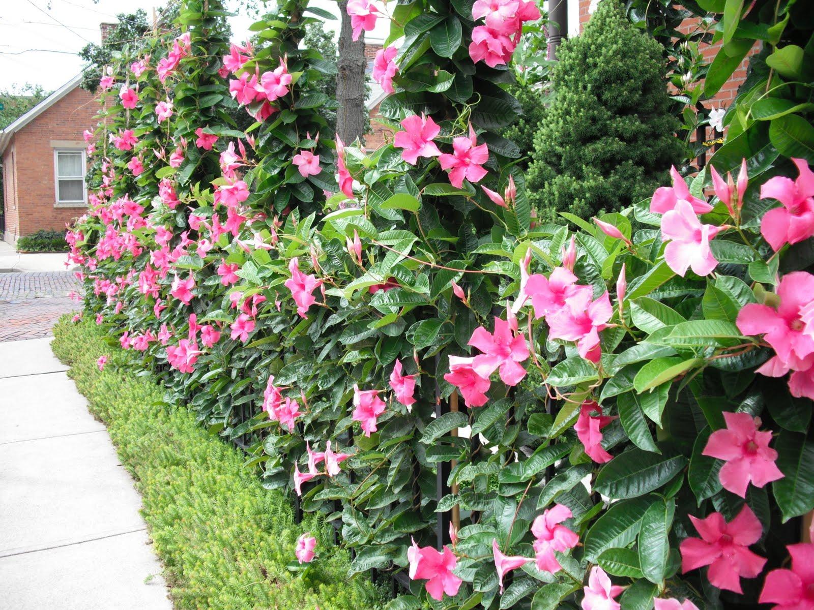 Цветение Дипладении — захватывающее зрелище