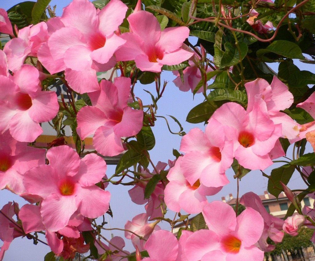 Лепестки крупных цветков окрашены в яркие оттенки розового
