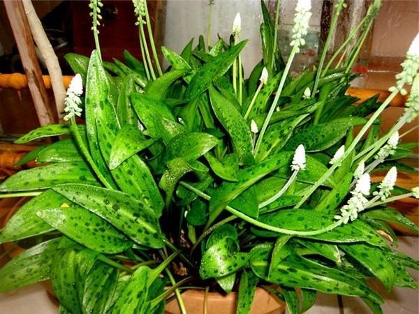 Цветок дримиопсис и уход
