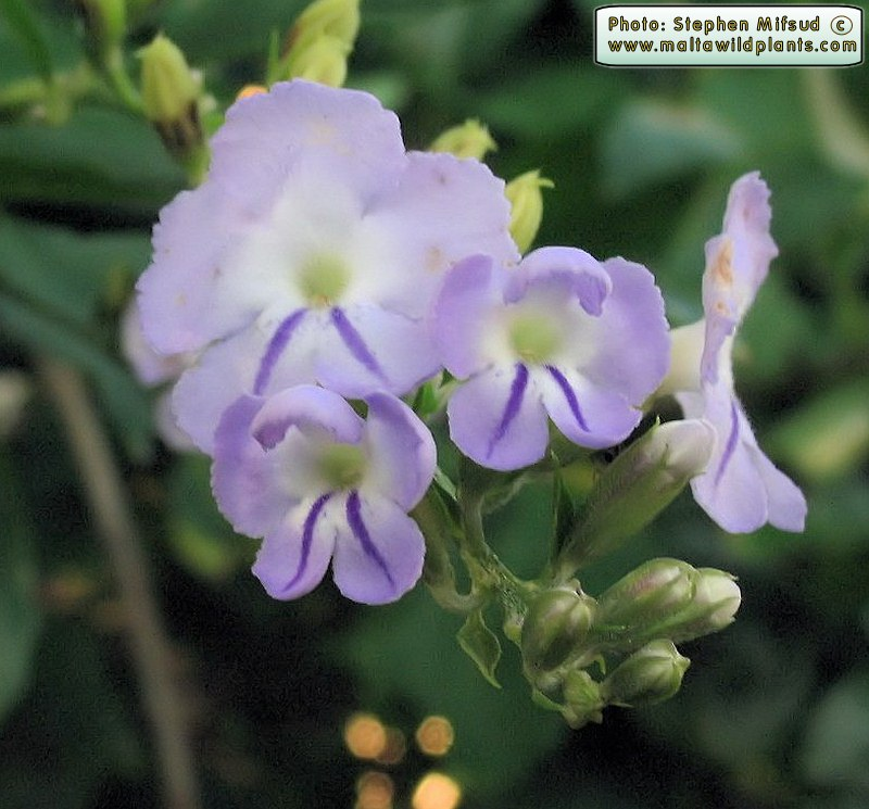 Цветки дуранты Ползучей