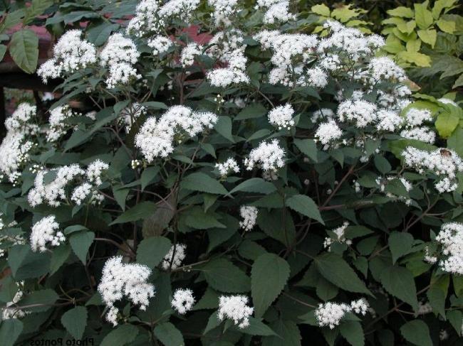 Евпаториум Морщинистый с зубчатыми листиками и белыми цветками