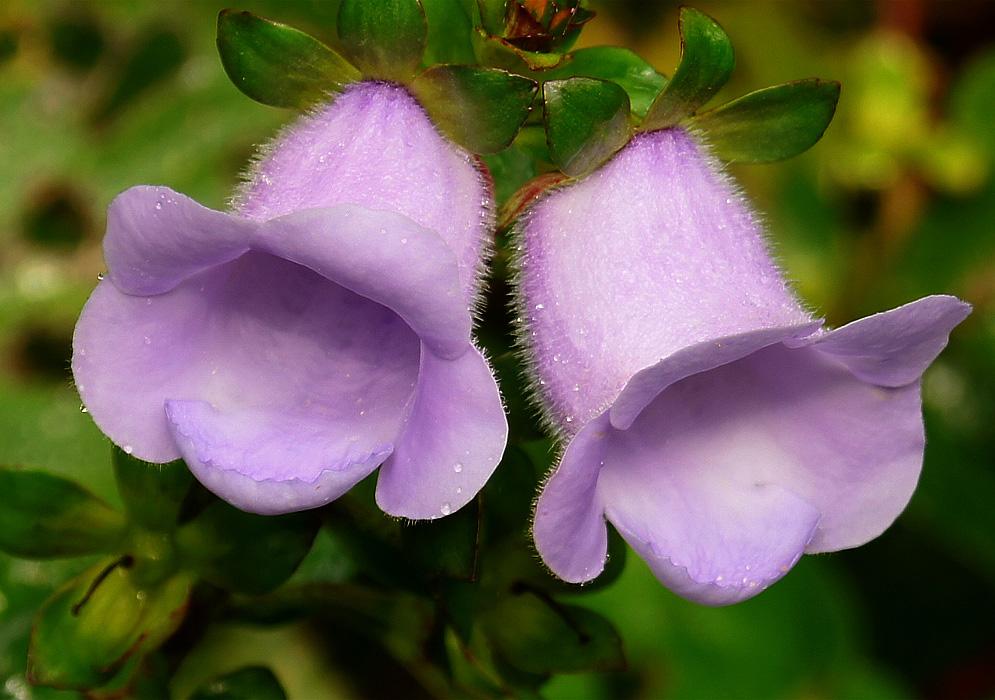 Цветки глоксинии Крапчатой