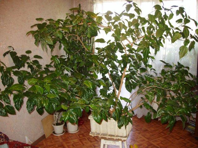 Взрослая китайская роза в виде дерева