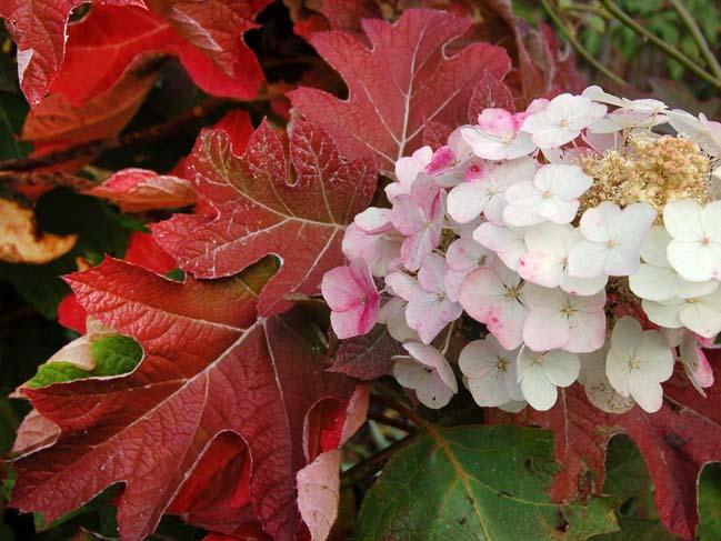 Гортензия Дуболистная с меняющими окраску цветками