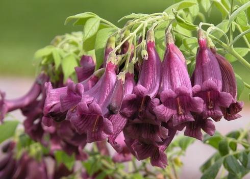 Цветки жакаранды Пушистой