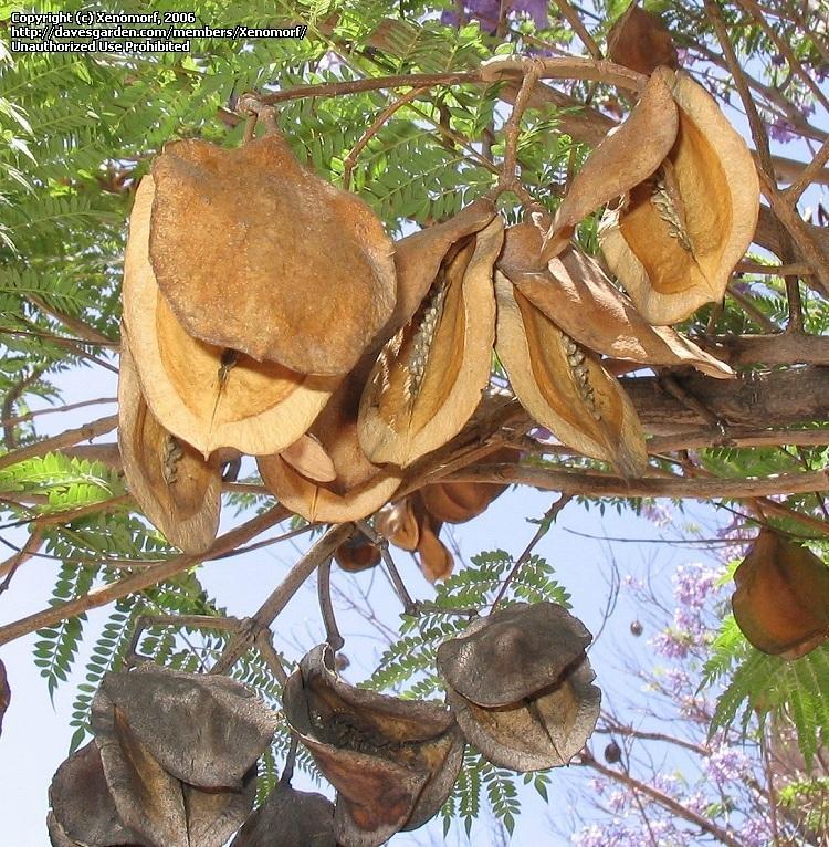 Семена жакаранды