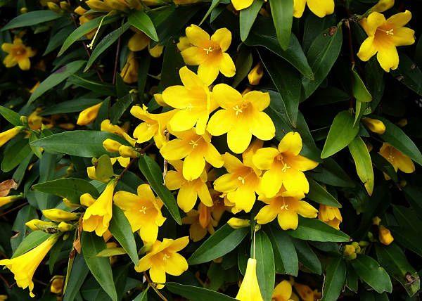 Цветки жасмина Голоцветкового