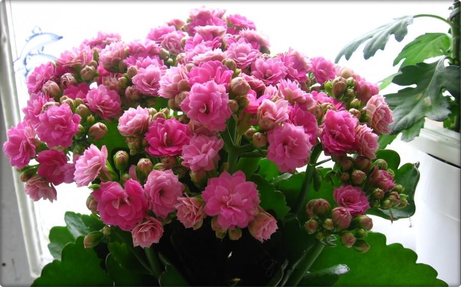 Каланхоэ каландива розовый