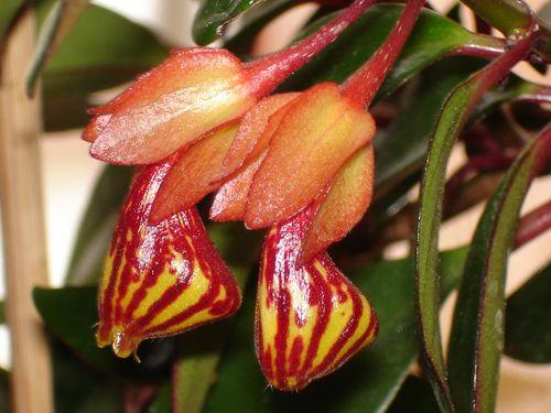Цветок нематантуса Тропикана