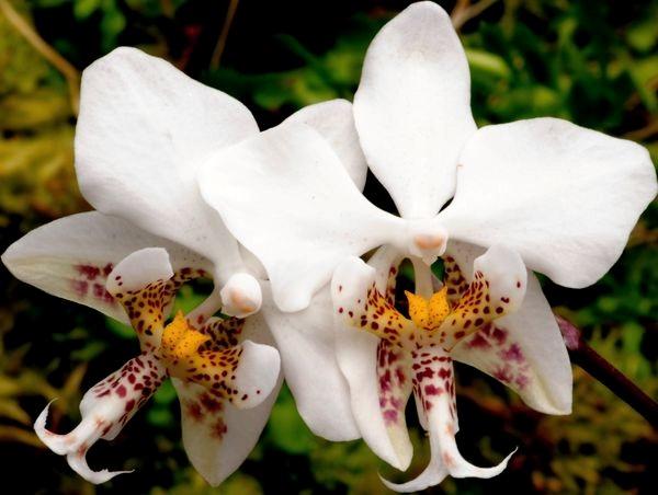 Лепестки окрашены в белый цвет, а губа — золотисто-желтого цвета с яркой пурпурной пятнистостью