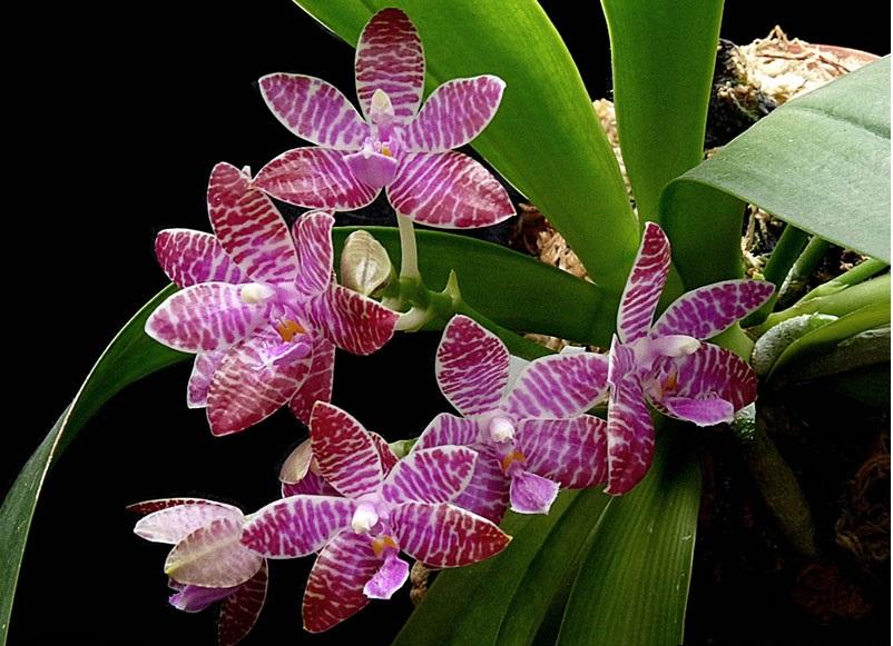 Неоспоримым преимуществом этого вида является ее длительное, практически весь год, цветение.