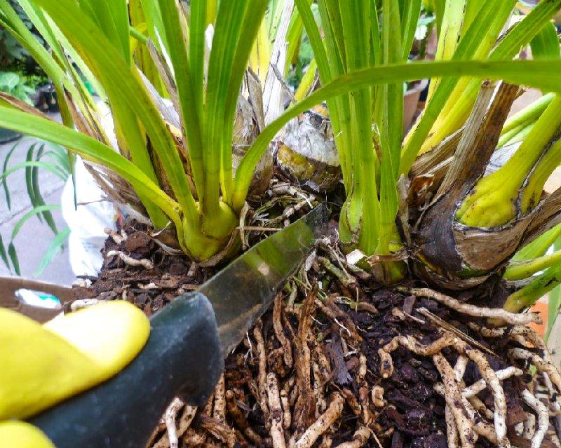 Срезы дезинфицируют и подсушивают, оставляя растение на несколько часов. Участки корня части сажают в отдельные емкости.