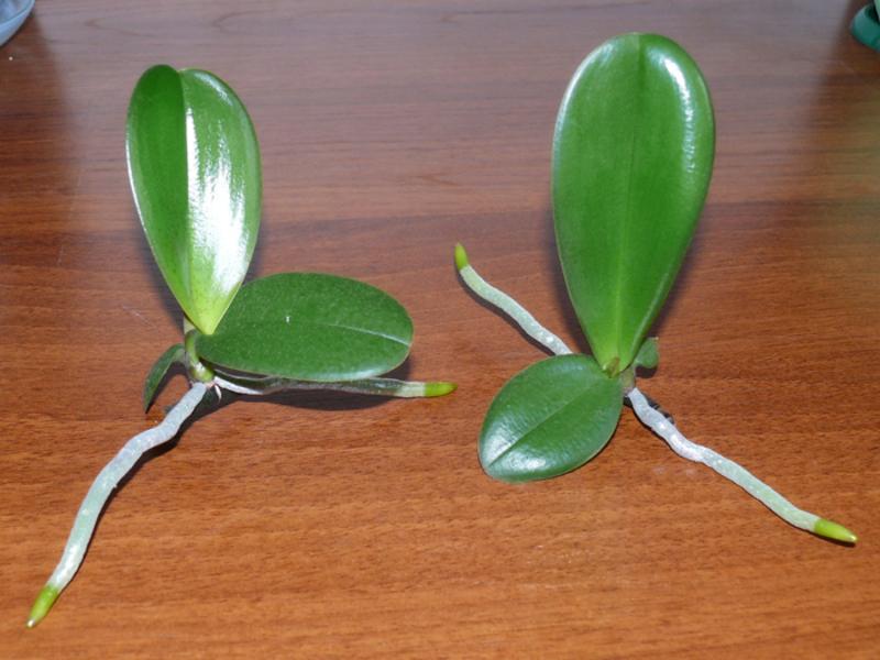 При появлении собственных воздушных корней, детку отделяют