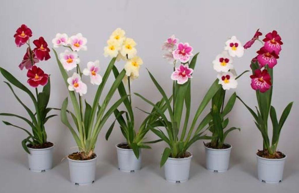 Сегодня этот цветок почитается как высокодекоративное растение и украшает наши интерьеры