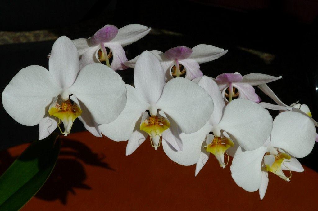 Из почек развиваются крупные белые цветки с желтой или красноватой губой