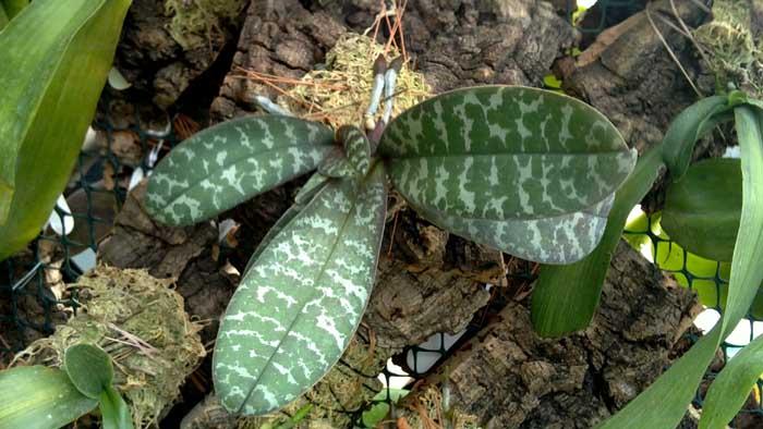 Верхняя сторона листьев покрыта темно-зелеными пятнами
