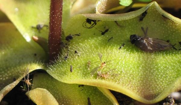 Листья жирянки Обыкновенной