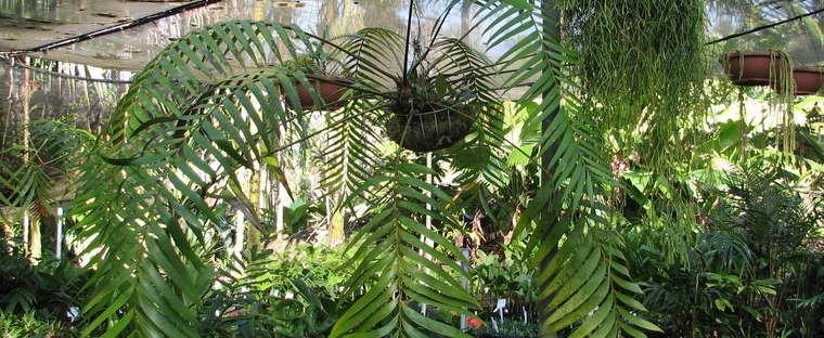 У замии Ложнопаразитной листья могут достигать 2 м в длину