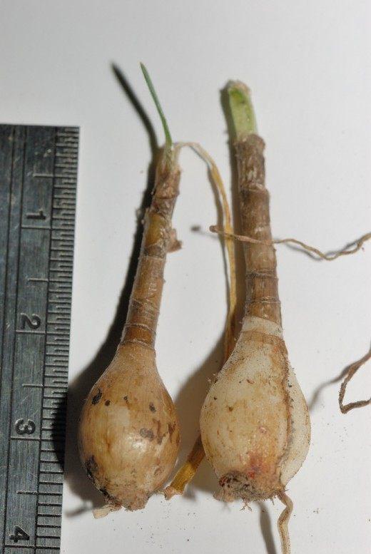 Луковица зефирантеса с длинной шейкой