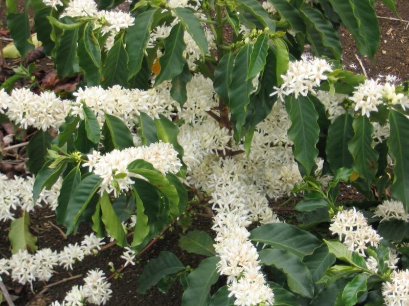 Кофе арабика - комнатное растение.