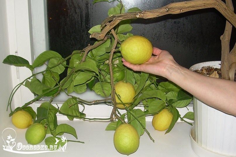 Павловские лимоны