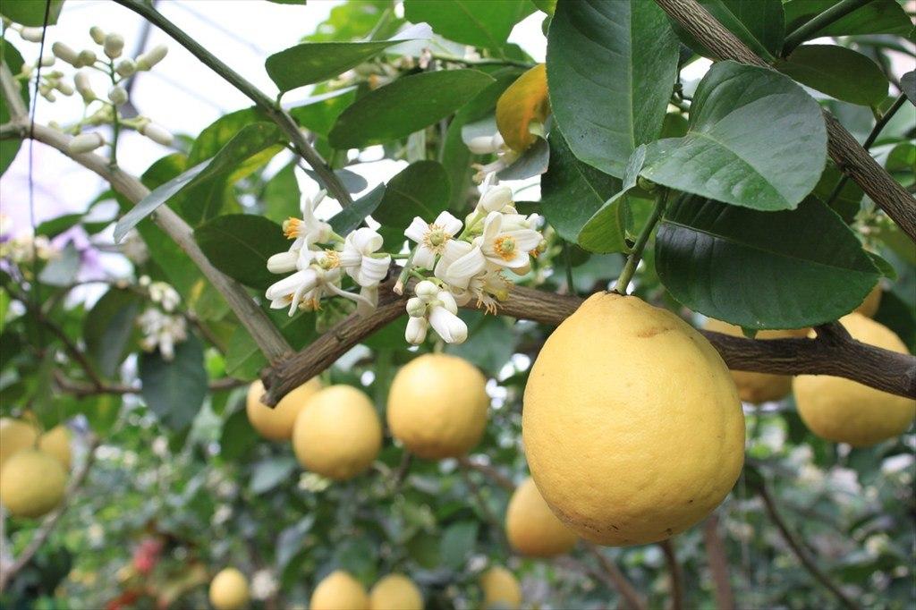 На одном дереве одновременно могут быть и плоды, и цветы