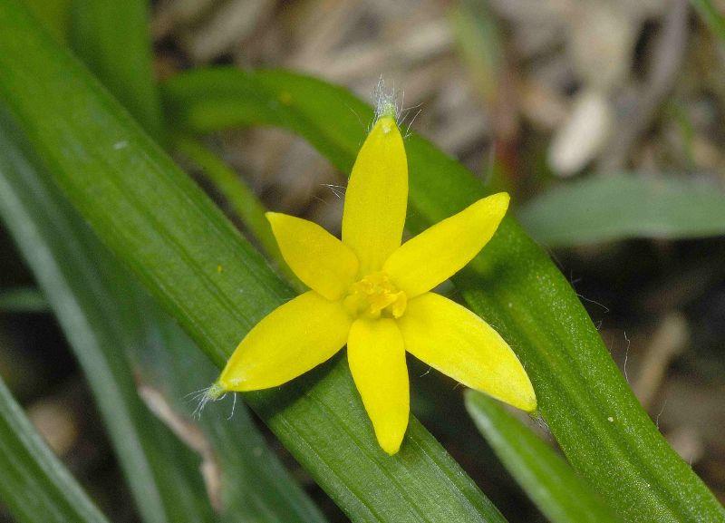 Цветок куркулиго