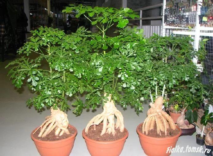 Куссония Шароголовая, выращенная в виде бонсаи
