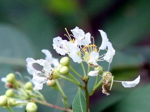 Цветки лагерстремии Фори