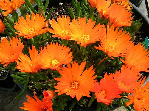 Лампрантус Оранжевый