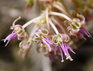 Цветок Ледебурии Лутеола