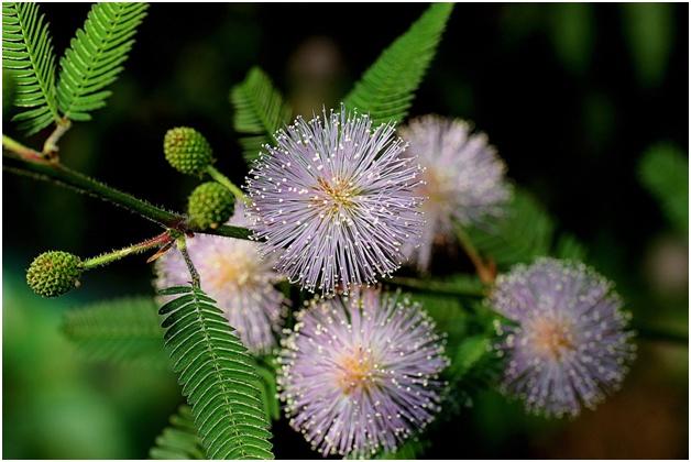 Цветки мимозы